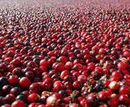 Do cranberries really help with urinary tract infections?