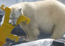 Polar bear dies of 'broken heart' after losing her female companion