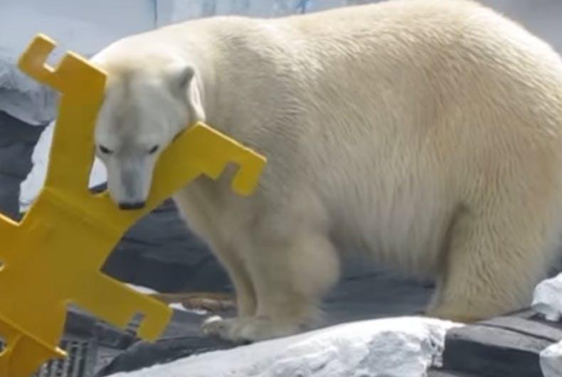 Polar bear dies of 'broken heart' after losing her female companion