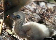 Gay vultures hatched an egg in Amsterdam & are happily raising the chick