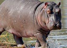 'I am a hippo:' Trans scholar mocked for 'tranimal' identity metaphor