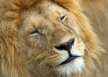 Kenyan official blames lion homosexuality on gay tourists