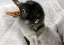 A gay penguin couple hatched an egg & the world has fallen in love with their chick