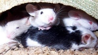 Researchers just made healthy baby mice with two mothers & no father