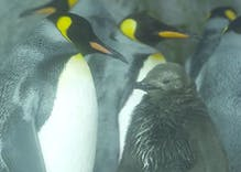 No one knows how these lesbian penguins laid an egg