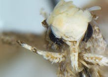 Scientists discovered a moth with golden hair & a small penis so they named it after Trump