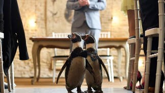 These gay penguins had a lavish wedding better than any you've attended