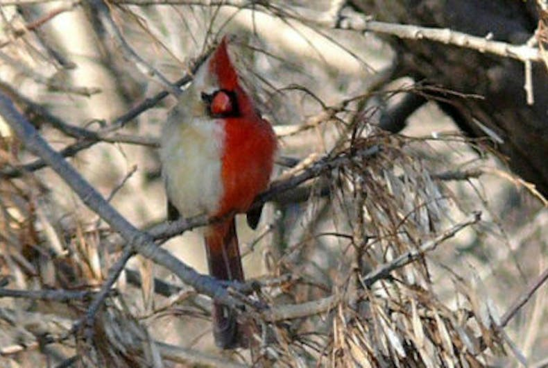A gynandromorph Cardinal was spotted in Pennsylvania.