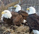 A bald eagle thrupple is raising chicks together as a family with two dads & one mom
