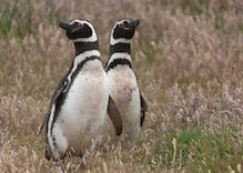 These gay penguins don't have an egg to raise. So, they're doing something different.