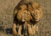 This video of male lions mating has gone viral, reminding us that being gay is natural