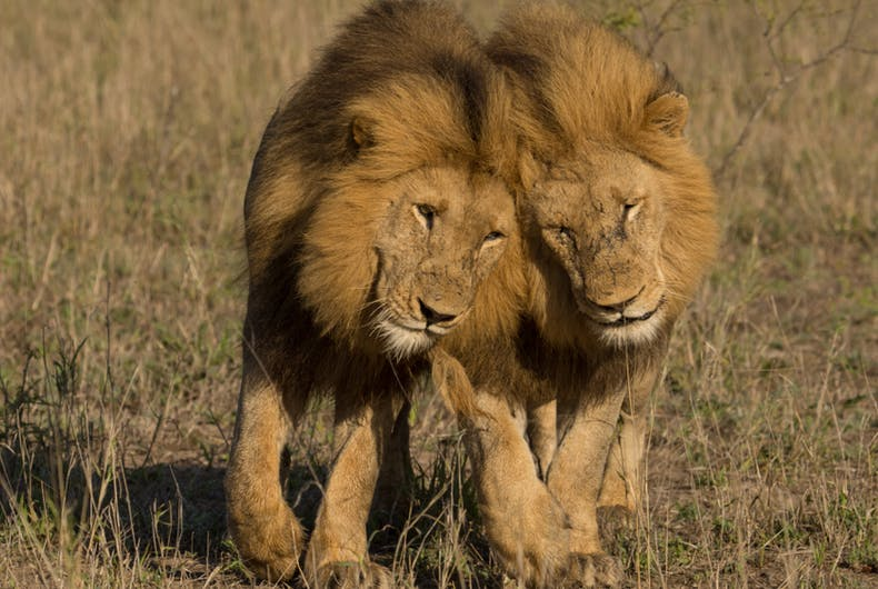 Male lions, mating, gay, video, sex, mounting, bonding