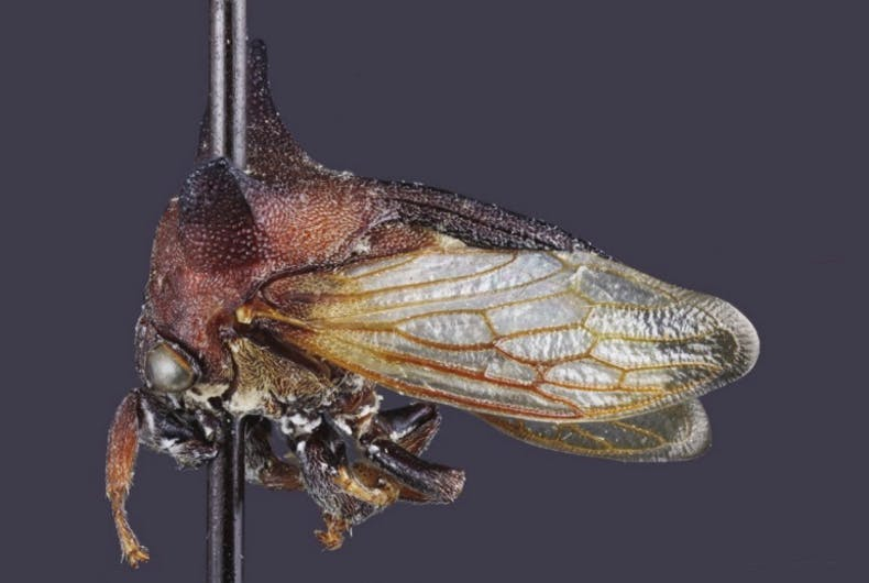 A Kaikaia gaga specimen